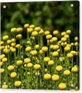 Yellow Tansy Acrylic Print