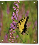 Yellow Tiger Acrylic Print