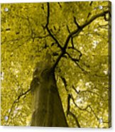 Yellow Tree Acrylic Print