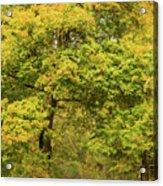 Yellow Trees In Fall Acrylic Print