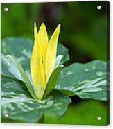 Yellow Trillium Flower Trillium Luteum Acrylic Print