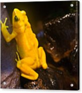 Yellow Tropical Frog Acrylic Print