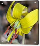 Yellow Trout Lily Acrylic Print