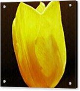 Yellow Tulip 3 Acrylic Print