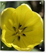 Yellow Tulip Center Squared Acrylic Print