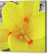 Yellow Tulip Flower Spring Flowers Floral Art Prints Acrylic Print