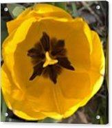 Yellow Tulip Head     Spring   Indiana Acrylic Print