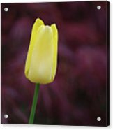 Yellow Tulip Perfection Ready To Blossom Acrylic Print
