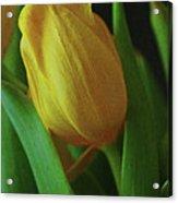 Yellow Tulip Acrylic Print