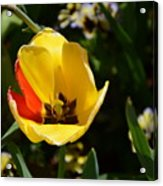 Yellow Tulip With Red Stripe Acrylic Print