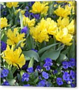 Yellow Tulips And Violets Acrylic Print