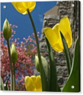 Yellow Tulips By Stone Church Acrylic Print