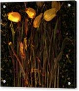 Yellow Tulips Decaying At Sunset Acrylic Print