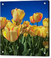 Yellow Tulips With An Orange Flare Acrylic Print