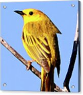 Yellow Warbler #2 Acrylic Print