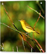 Yellow Warbler Galapagos Islands Acrylic Print