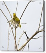 Yellow Warbler In Flight Acrylic Print