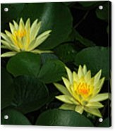 Yellow Water Lilies Acrylic Print