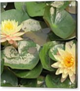 Yellow Water Lillies Acrylic Print