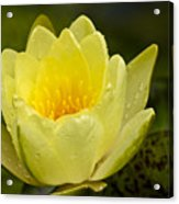 Yellow Water Lilly Acrylic Print