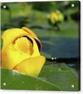 Yellow Water Lily Acrylic Print