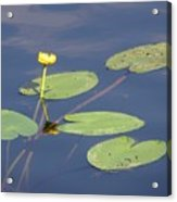 Yellow Water Lily Acrylic Print