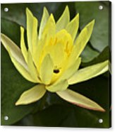 Yellow Waterlily With A Visiting Insect Acrylic Print