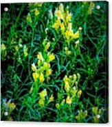 Yellow Wild Flowers In Late Summer Acrylic Print