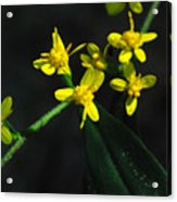 Yellow Wildflower Acrylic Print