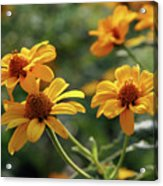 Yellow Wildflowers 3680 H_2 Acrylic Print