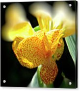 Yellow With Red Spots Acrylic Print by Douglas Barnard