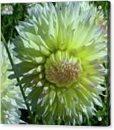 Yellow With White Dahlia Flower Acrylic Print