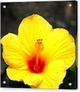 Yellow Wonder Acrylic Print