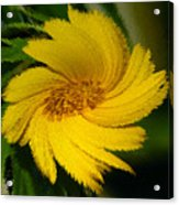Yellow Wonder Acrylic Print