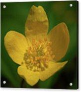 Yellow Wood Anemone 1 Acrylic Print