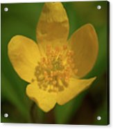 Yellow Wood Anemone 2 Acrylic Print