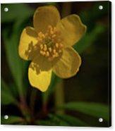 Yellow Wood Anemone 3 Acrylic Print