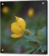 Yellow Wood Anemone 5 Acrylic Print