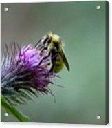 Yellowhead Bumblebee Two Acrylic Print