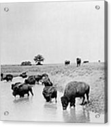 Yellowstone: Bison, C1905 Acrylic Print
