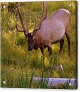 Yellowstone Bull Acrylic Print