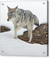 Yellowstone Coyote Acrylic Print