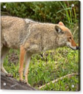 Yellowstone Coyote Scout Acrylic Print