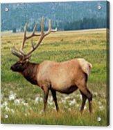 Yellowstone Elk Acrylic Print