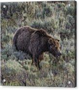 Yellowstone Grizzly Acrylic Print
