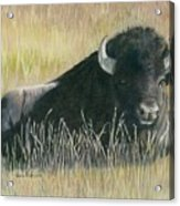 Yellowstone Loner Acrylic Print