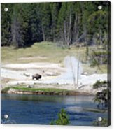 Yellowstone Park Bison In August Acrylic Print