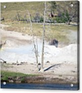Yellowstone Park Bisons In August Acrylic Print