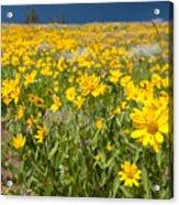 Yellowstone Wildflower Acrylic Print
