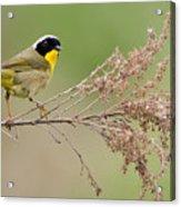 Yellowthroat Warbler Acrylic Print
